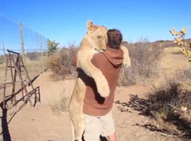 非洲狮子扑入饲养员怀中亲昵撒娇