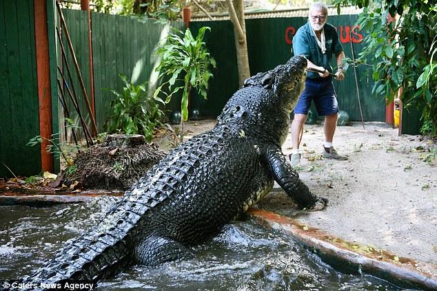 澳洲84岁猎手与世界最大鳄鱼共同生活30年