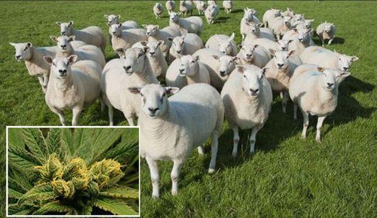 """英国一农场羊群误食大麻后集体""""傻笑"""""""