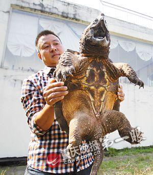 程先生钓到的鳄龟体型十分巨大异常凶猛