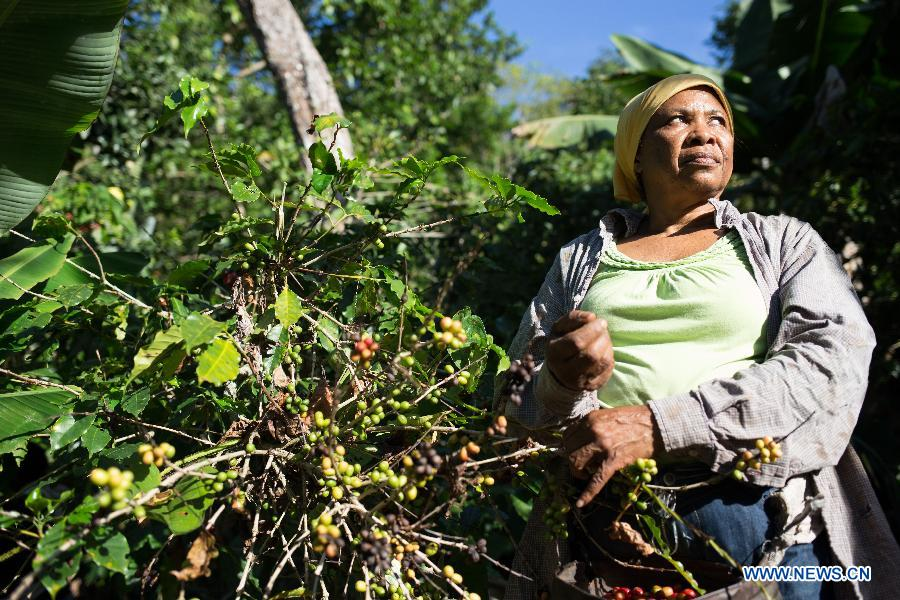 A farmer picks coffee beans in Los Cacaos Municipality of San Cristobal Province, the Dominican Republic, Oct. 28, 2014.