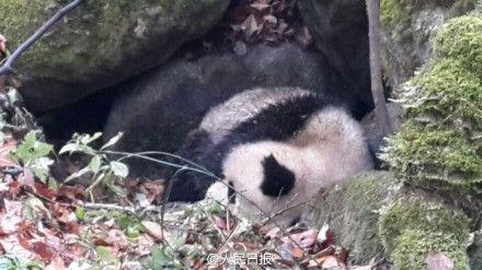3岁熊猫遭围攻受伤跑到保护站求助(图)
