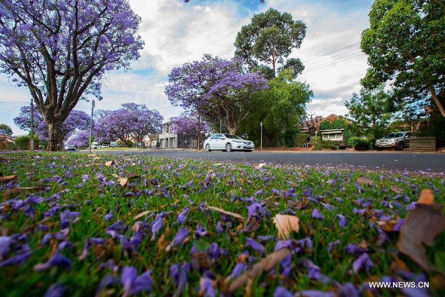 Purple flowers of Jacaranda blossom in Adelaide, Australia, Nov. 21, 2014.