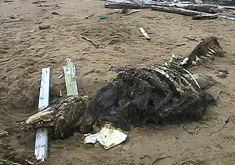俄罗斯现神秘动物尸骸 特种部队带回研究【6】