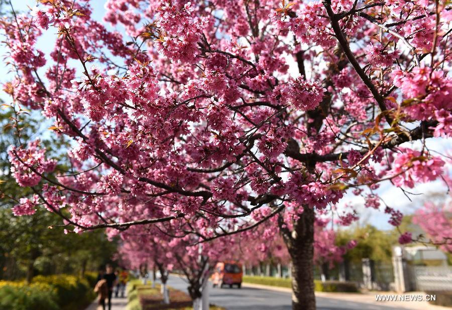 Photo taken Jan. 6, 2015 shows the scenery of winter cherry blossom on a road in Kunming, capital of southwest China's Yunnan Province.