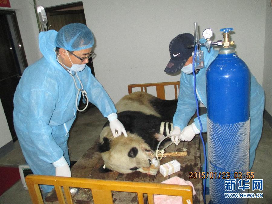 (社会)陕西大熊猫感染犬瘟热已致3只大熊猫死亡
