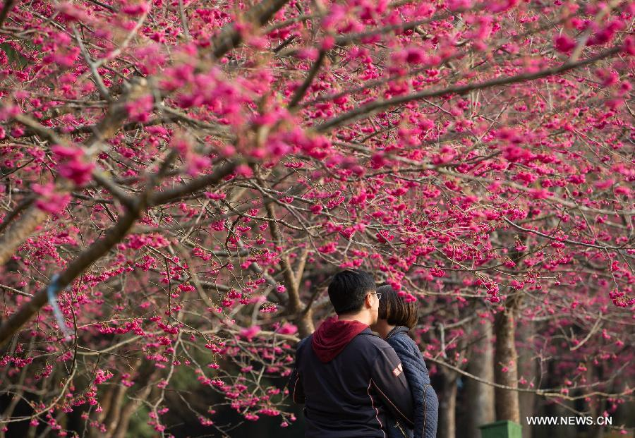 A couple take selfie photos in front of cherry blossoms in Nantou, southeast China's Taiwan, Feb. 13, 2015.