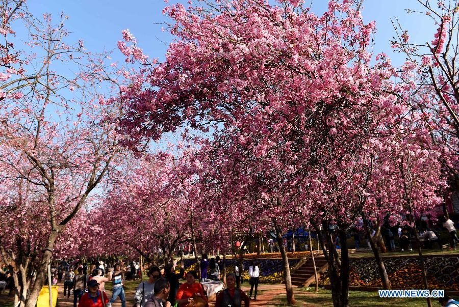 Visitors enjoy cherry blossom in a park in Kunming, capital of southwest China's Yunnan Province, March 1, 2015.