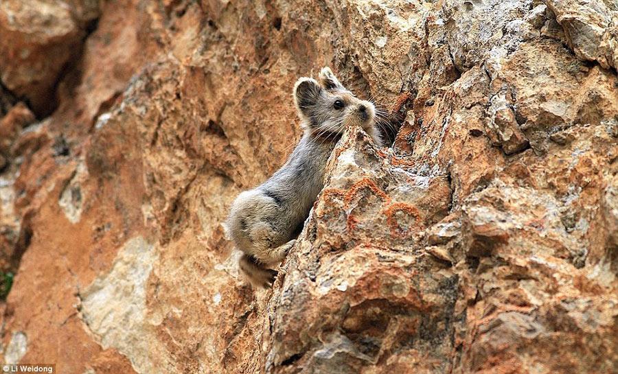 萌物伊犁鼠兔时隔20年再次现身中国 比大熊猫稀有