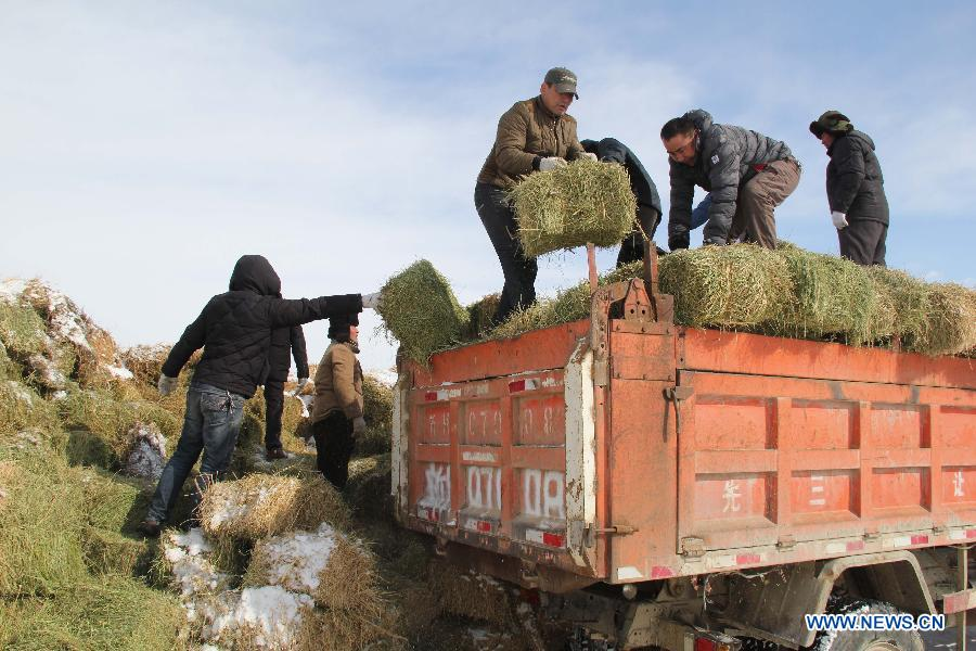 The local government provides free transportation of forage grass for livestock in Balbagay Township of Altay, northwest China's Xinjiang Uygur Autonomous Region, April 1, 2015. As the continuous snowfall threatened the survival of livestock, the local government has taken emergency measures such as transferring livestock and supplying feed. (Xinhua/Tang Xiaobo)