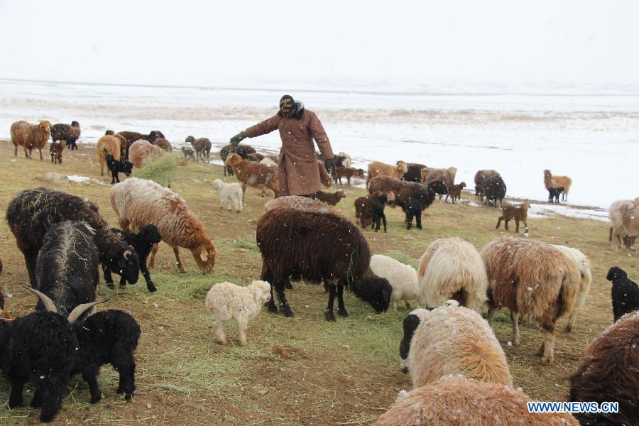 A herdsman feeds sheep in Altay, northwest China's Xinjiang Uygur Autonomous Region, April 1, 2015. As the continuous snowfall threatened the survival of livestock, the local government has taken emergency measures such as transferring livestock and supplying feed. (Xinhua/Tang Xiaobo)