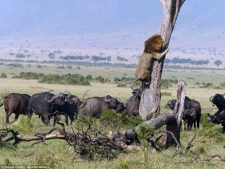狮子被野牛群追赶 爬到树上躲避