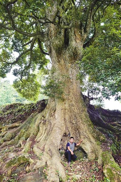 ▲最大那棵金丝楠木与一个成人的对比