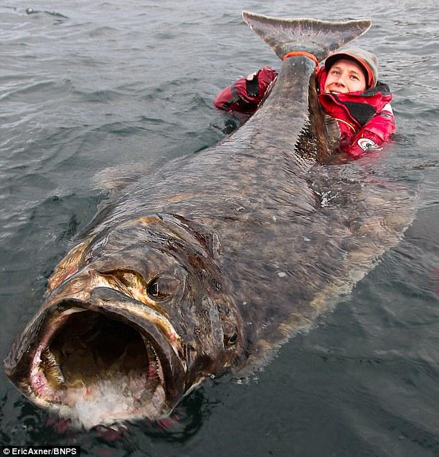 巨型比目鱼被瑞典男子捕获 嘴张开似下水管道
