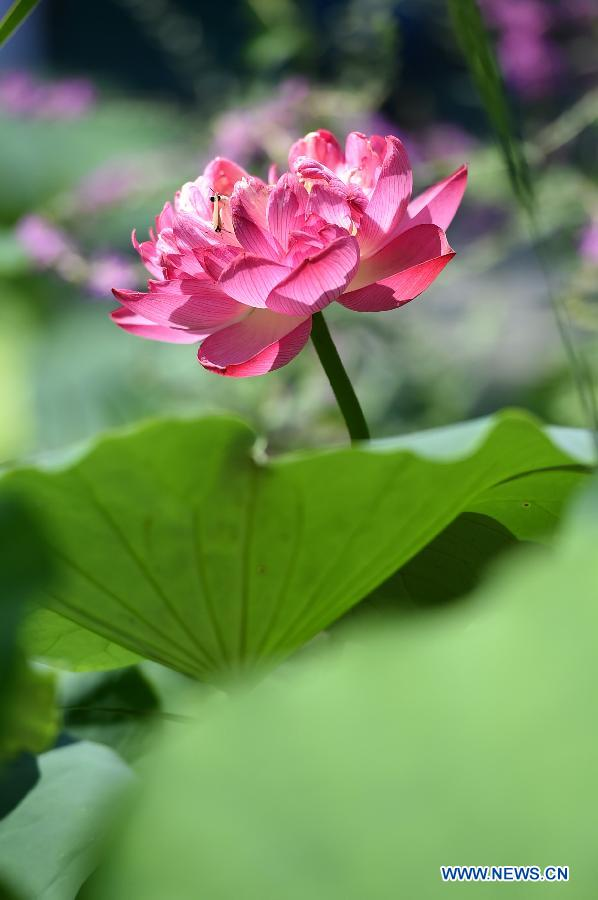 Lotus flowers bloom in chinas henan peoples daily online a lotus flower is in full bloom at the zijinshan park in zhengzhou capital of mightylinksfo