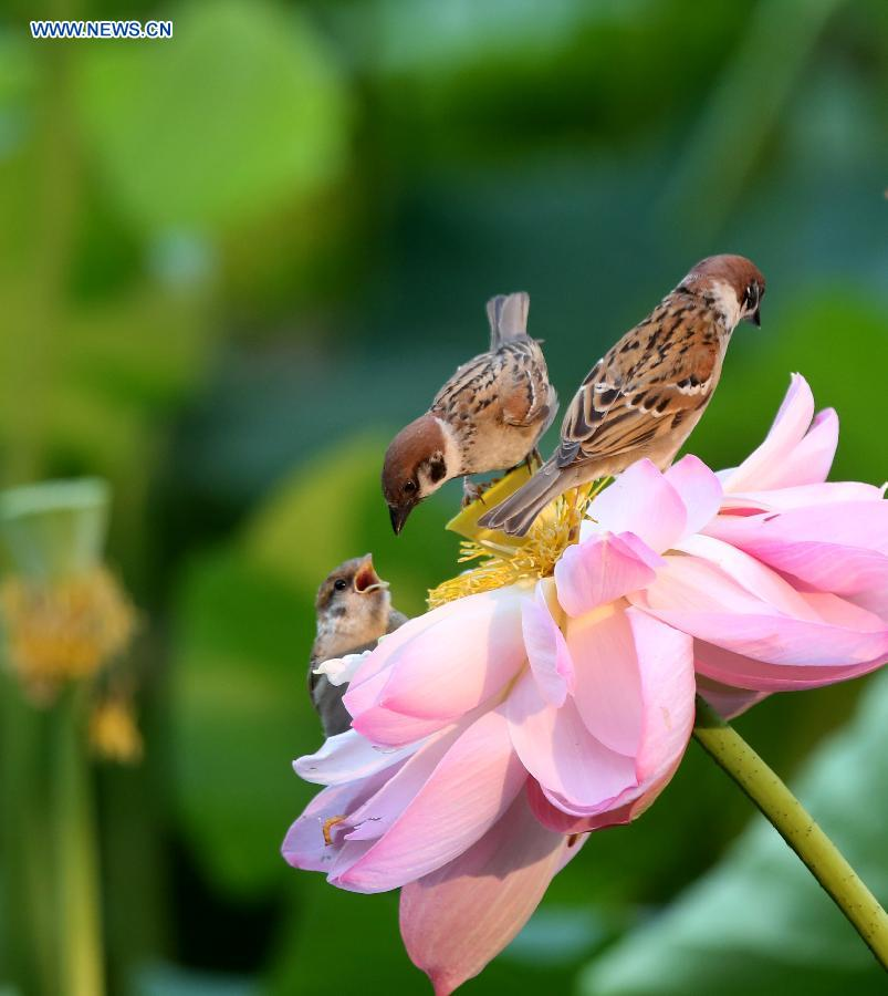 Sparrows forage on a lotus flower at Zizhuyuan Park in Beijing, capital of China, July 7, 2015.