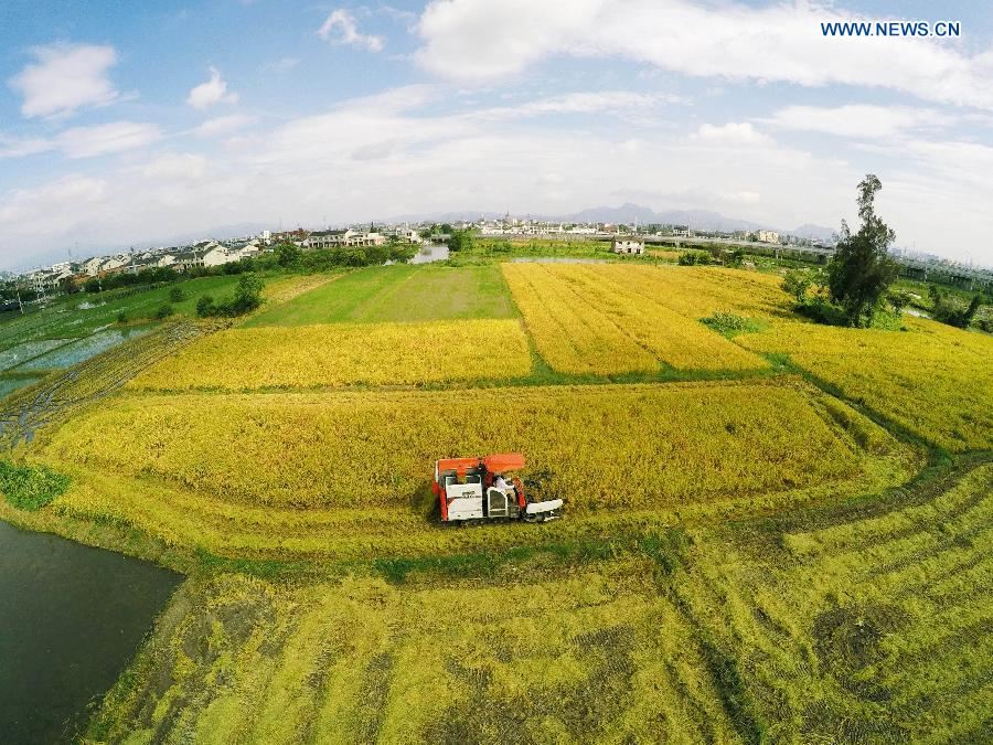 A reaper harvests early season rice on a farmland in Wenlou Village of Cangnan County, east China's Zhejiang Province, July 27, 2015.