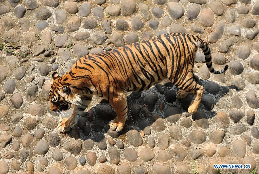 A tiger plays in the the Ragunan Zoo in Jakarta, Indonesia, July 28, 2015.