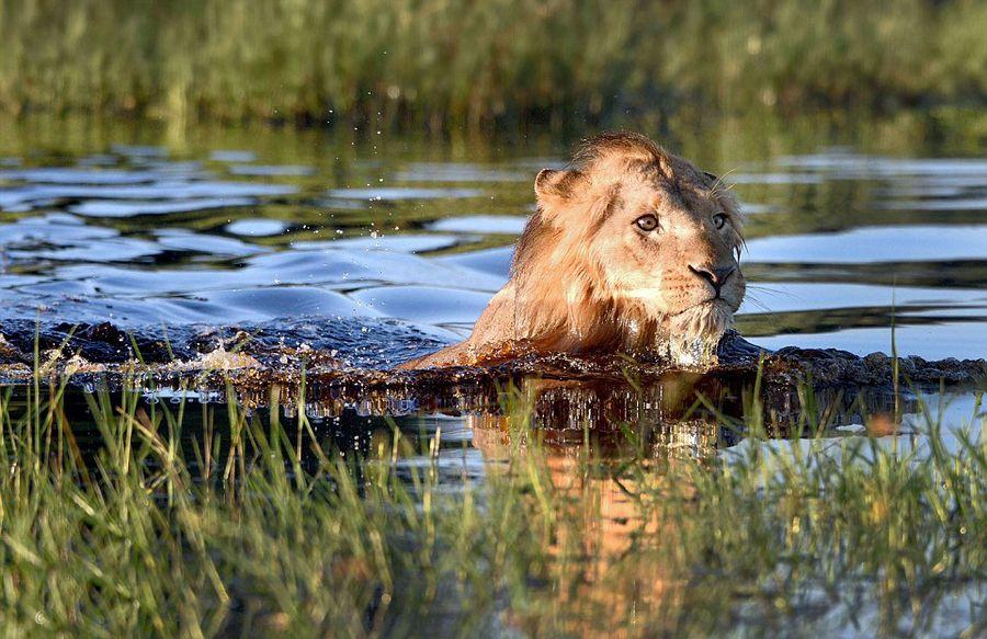 非洲雄狮涉水遭鳄鱼突袭落荒而逃