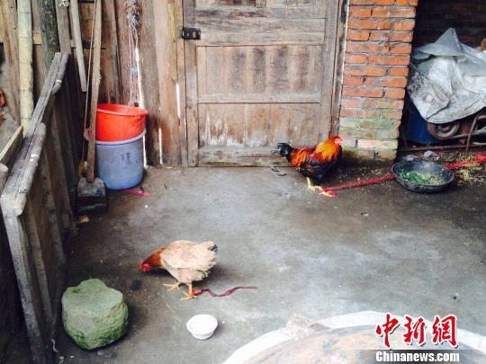 浙江下蛋7年老母鸡变公鸡 畜牧专家称少见(图)
