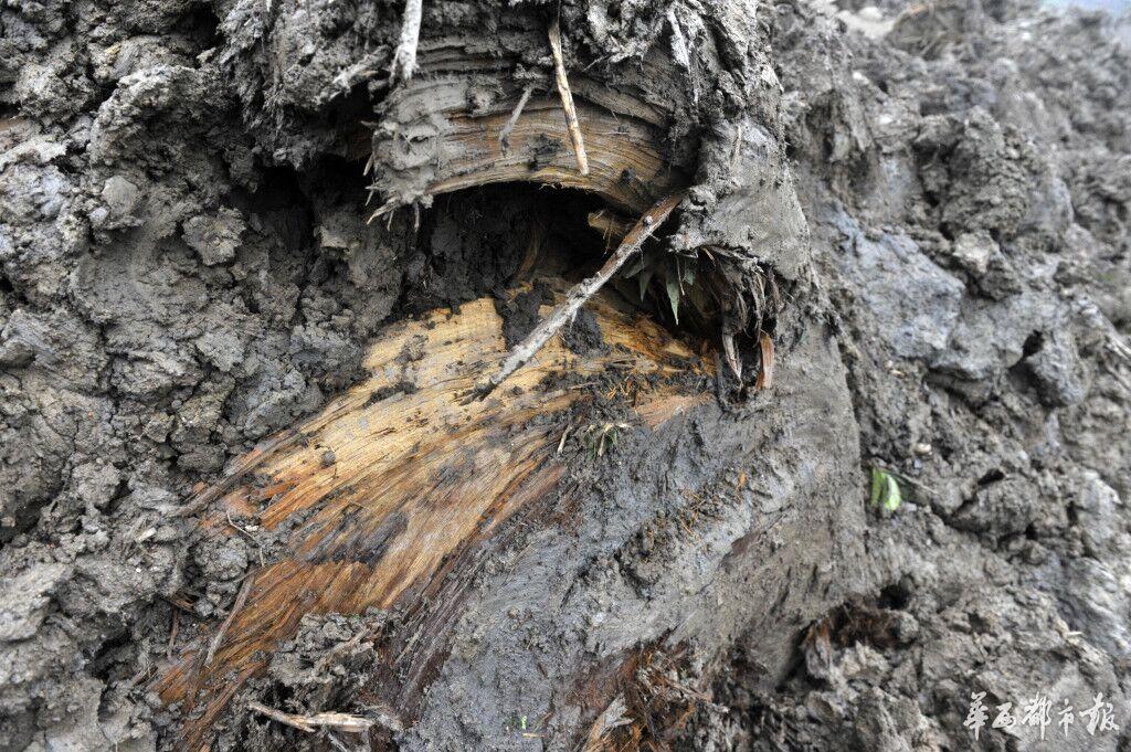 四川崇州田间挖到疑似20米巨型乌木