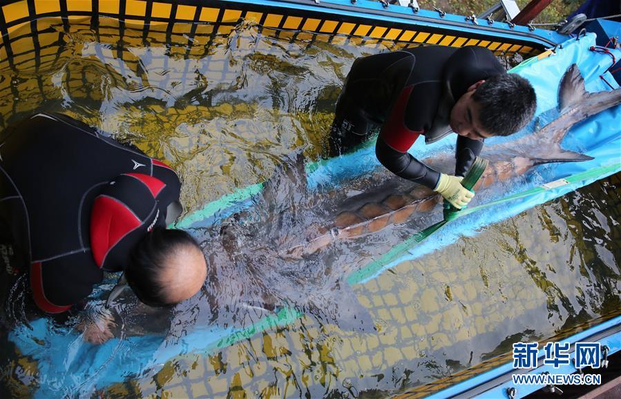 (新华直击)(1)20年来发现的个体最大的野生中华鲟进京疗养