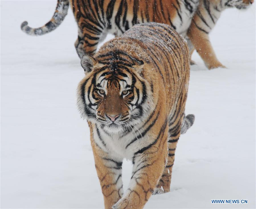 Siberian tigers are seen at the Siberian tiger zoo in Hailin, northeast China's Heilongjiang Province, Dec. 10, 2015.