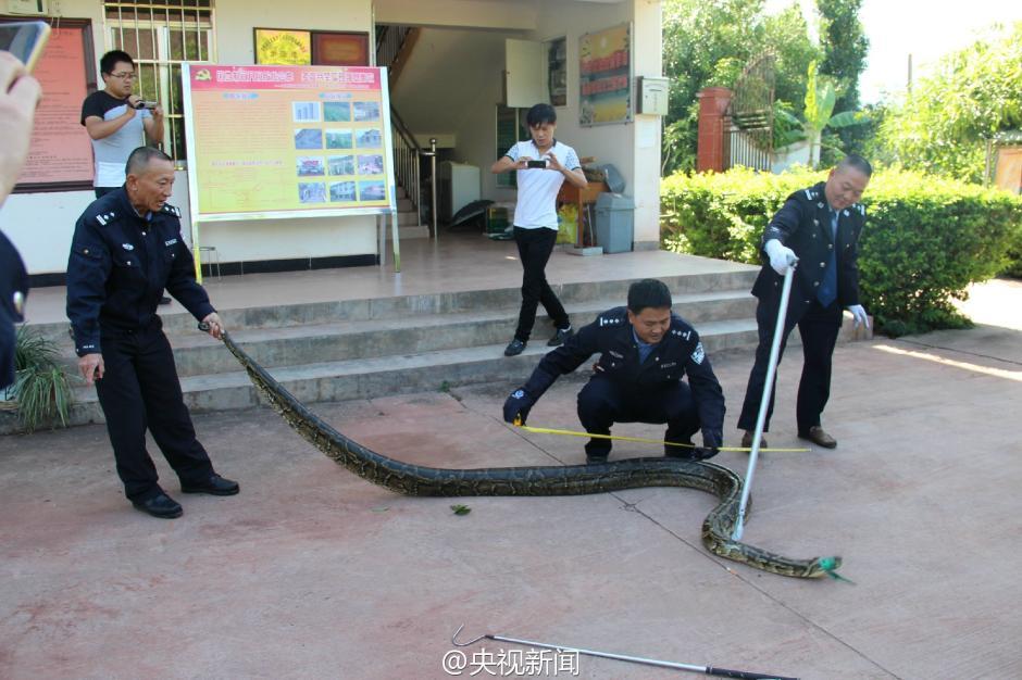 云南一施工队修路发现百岁蟒蛇 身长近4米