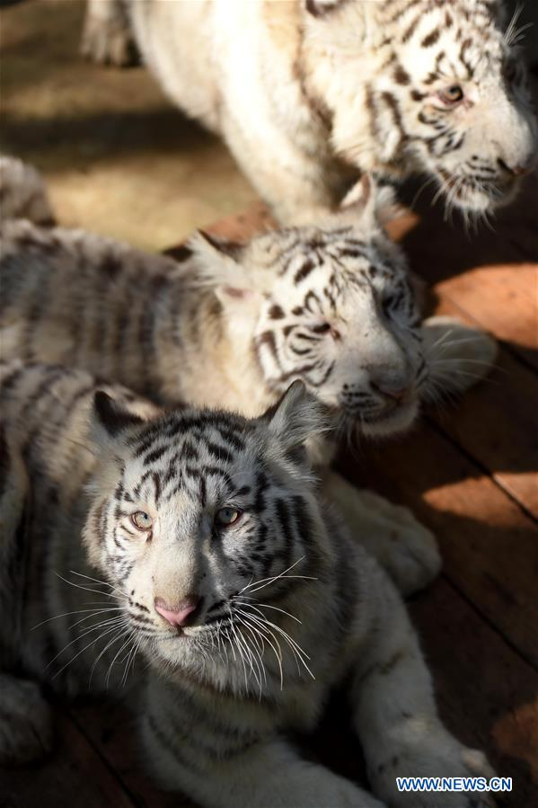 White tiger cubs are seen at the Yunnan Wild Animal Park in Kunming, capital of southwest China's Yunnan Province, Dec. 24, 2015.