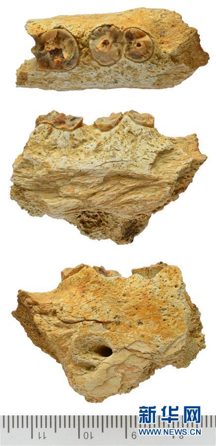 (晚报)(2)西藏阿里发现400多万年前鬣狗化石