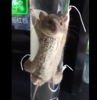 成都大妈抓到老鼠后绑起来