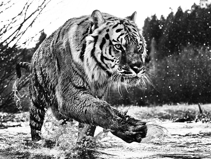 野生动物黑白大片令人窒息的另类之美 - 人在上海    - 中国新闻画报