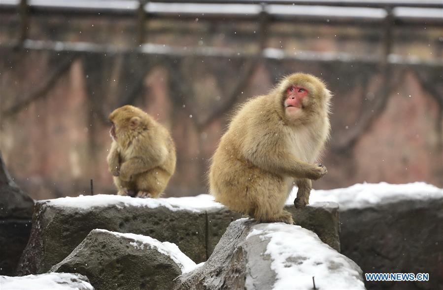 Snow monkeys seen at Nanchang Zoo in E China (5) - People's Daily Online
