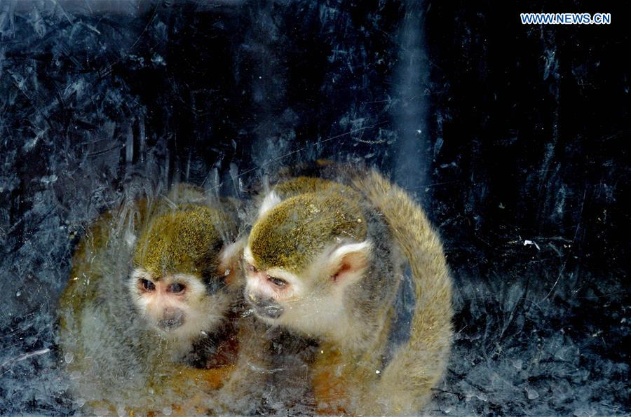 Squirrel monkeys look out of a window at Daqingshan Wildlife Park in Hohhot, capital of north China's Inner Mongolia Autonomous Region, Jan. 24, 2016.