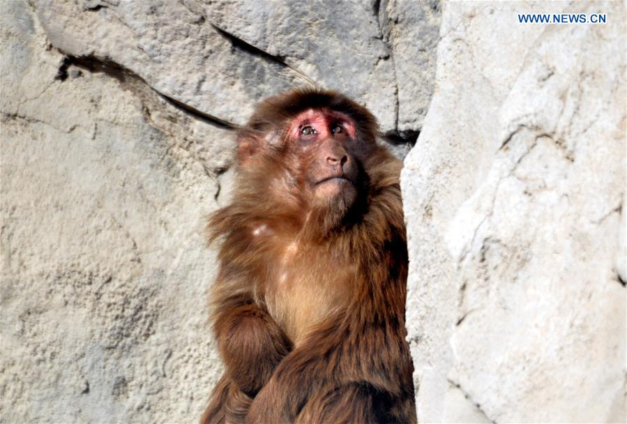 A Tibetan macaque looks at the sun Daqingshan Wildlife Park in Hohhot, capital of north China's Inner Mongolia Autonomous Region, Jan. 24, 2016.