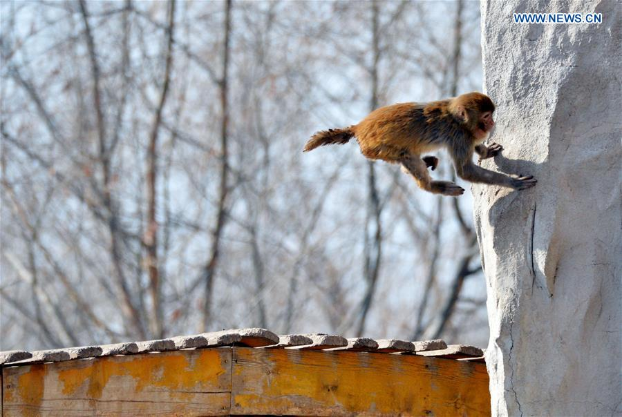A macaque jumps at Daqingshan Wildlife Park in Hohhot, capital of north China's Inner Mongolia Autonomous Region, Jan. 24, 2016.