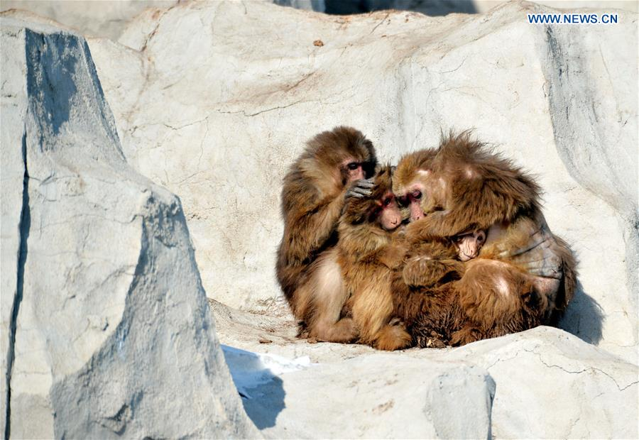 A Tibetan macaque family hold together for warmth at Daqingshan Wildlife Park in Hohhot, capital of north China's Inner Mongolia Autonomous Region, Jan. 24, 2016.
