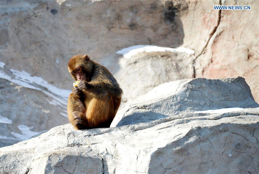 A macaque looks at food at Daqingshan Wildlife Park in Hohhot, capital of north China's Inner Mongolia Autonomous Region, Jan. 24, 2016.