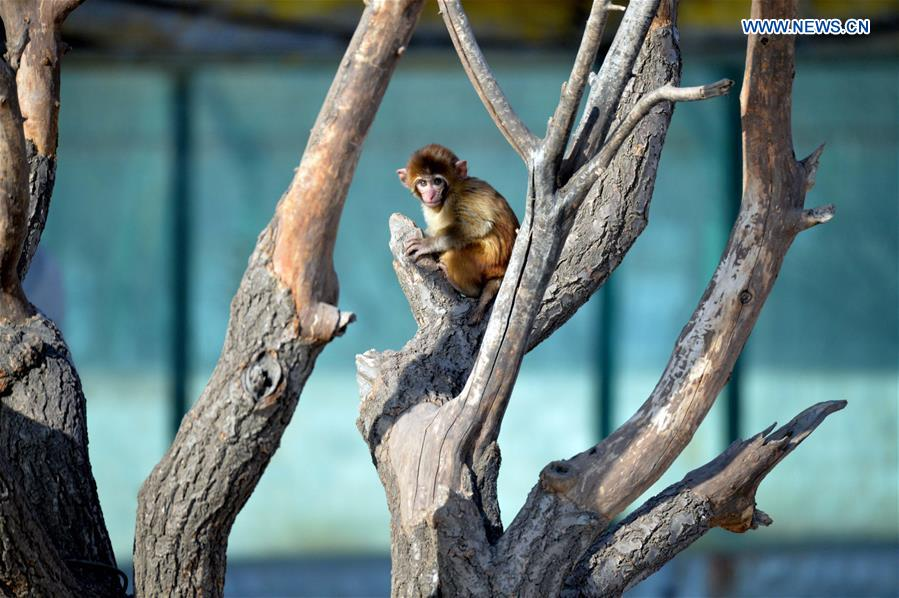 A macaque stays on a tree at Daqingshan Wildlife Park in Hohhot, capital of north China's Inner Mongolia Autonomous Region, Jan. 24, 2016.