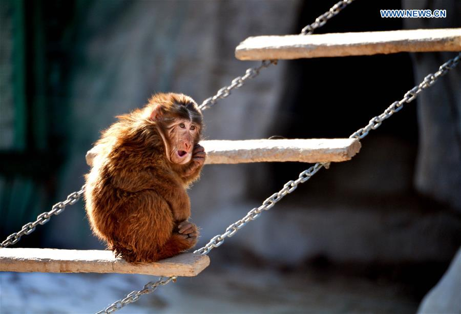 A Tibetan macaque scratch itch at Daqingshan Wildlife Park in Hohhot, capital of north China's Inner Mongolia Autonomous Region, Jan. 24, 2016.