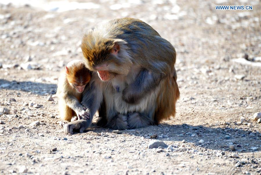 A macaque cub picks up food with its mother at Daqingshan Wildlife Park in Hohhot, capital of north China's Inner Mongolia Autonomous Region, Jan. 24, 2016.
