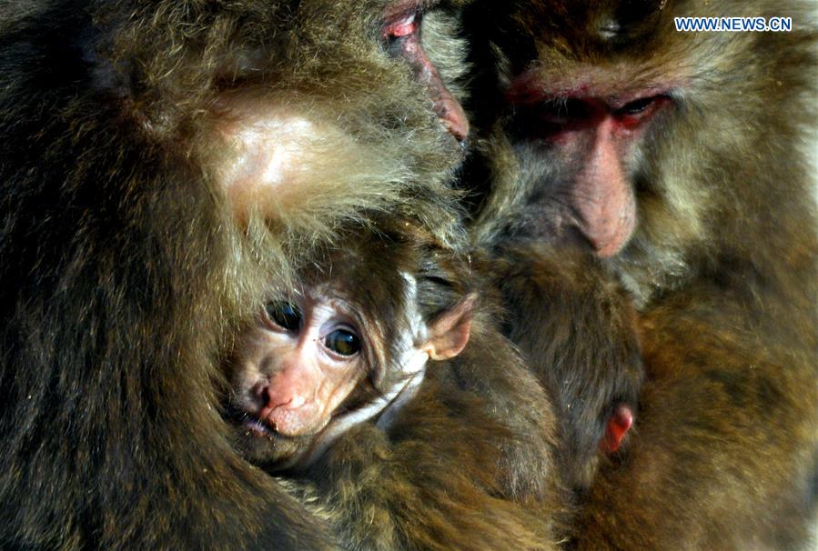 A Tibetan macaque cub gets warmth by hiding in its mother's arms at Daqingshan Wildlife Park in Hohhot, capital of north China's Inner Mongolia Autonomous Region, Jan. 24, 2016.