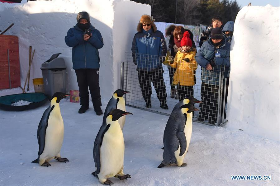 CHANGCHUN, Jan. 26, 2016 (Xinhua) -- Visitors look at emperor penguins in Jingyue Snow World in Jingyuetan National Forest Park in Changchun, capital of northeast China's Jilin Province, Jan. 26, 2016. Five emperor penguins from Dalian Laohutan Ocean Park in northeast China's Liaoning Province made their debut for visitors in Changchun Tuesday. (Xinhua/Zhang Nan)