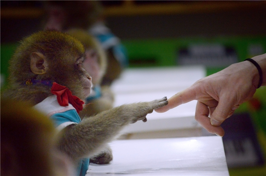 Monkeys train for their special year