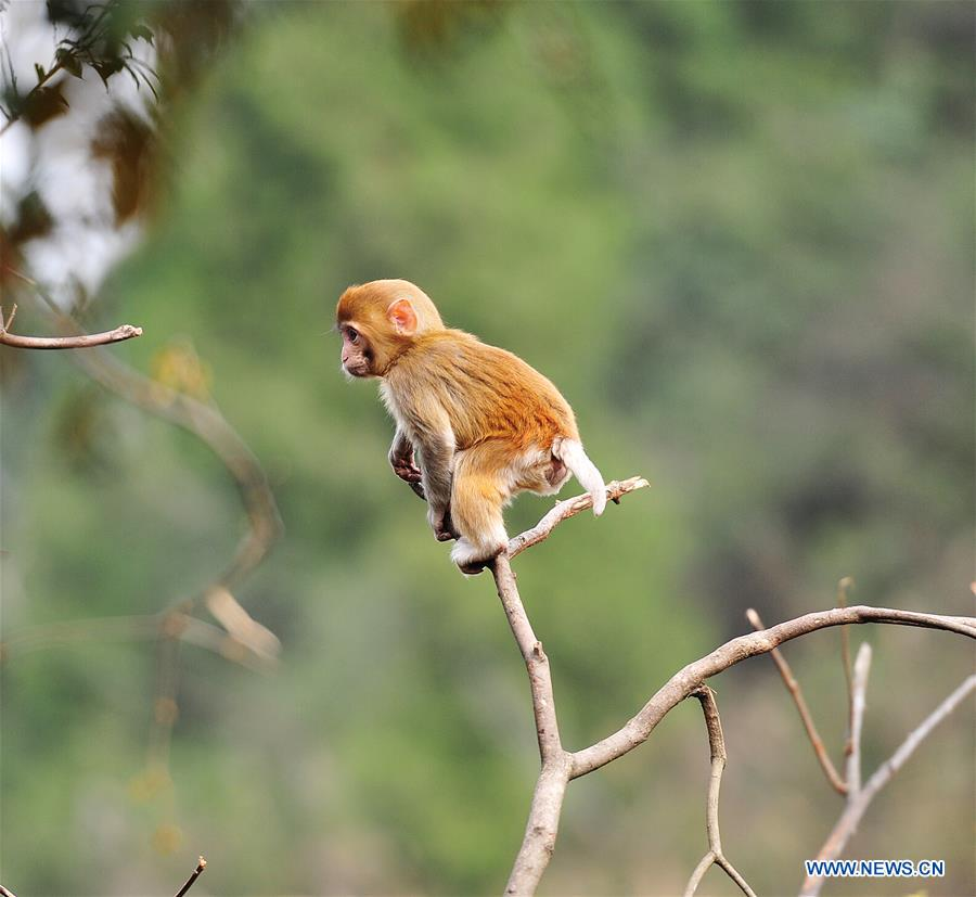 #CHINA-GUIZHOU-MACAQUE (CN)