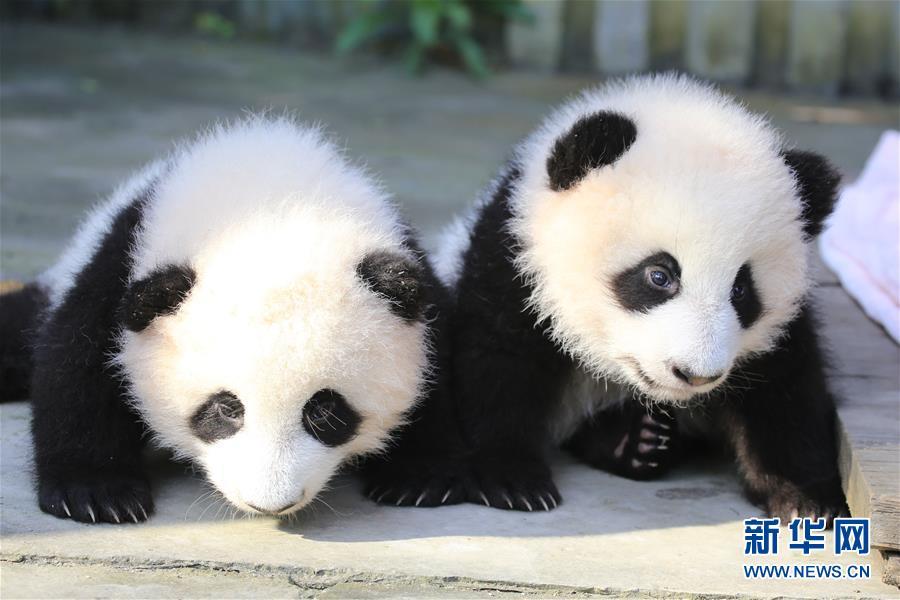 """(社会)(3)成都大熊猫双胞胎征名结束:取名""""奥林匹亚""""和""""福娃"""""""