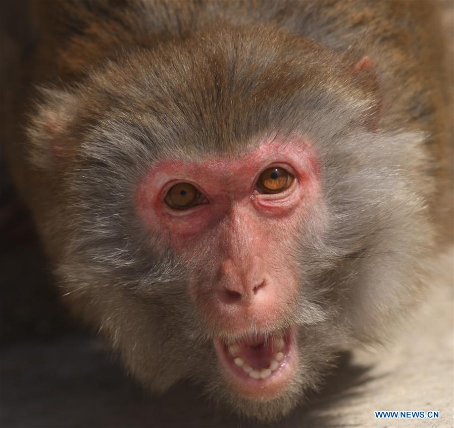 #CHINA-SHANDONG-YANTAI-MACAQUE (CN)