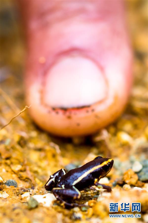 (国际)(4)古巴珍稀山蛙