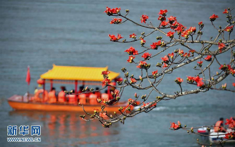 (生态)(1)春来木棉红