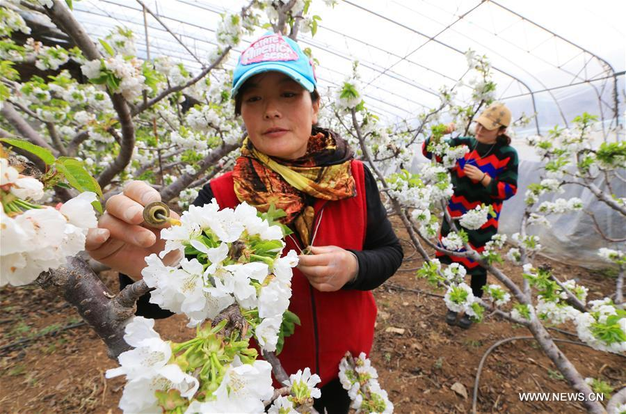 #CHINA-LIAONING-CHERRY FLOWERS-POLLINATION (CN)
